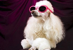 white poodle with sunglasses on in Anchorage Alaska. Looks like the dog was recently groomed.